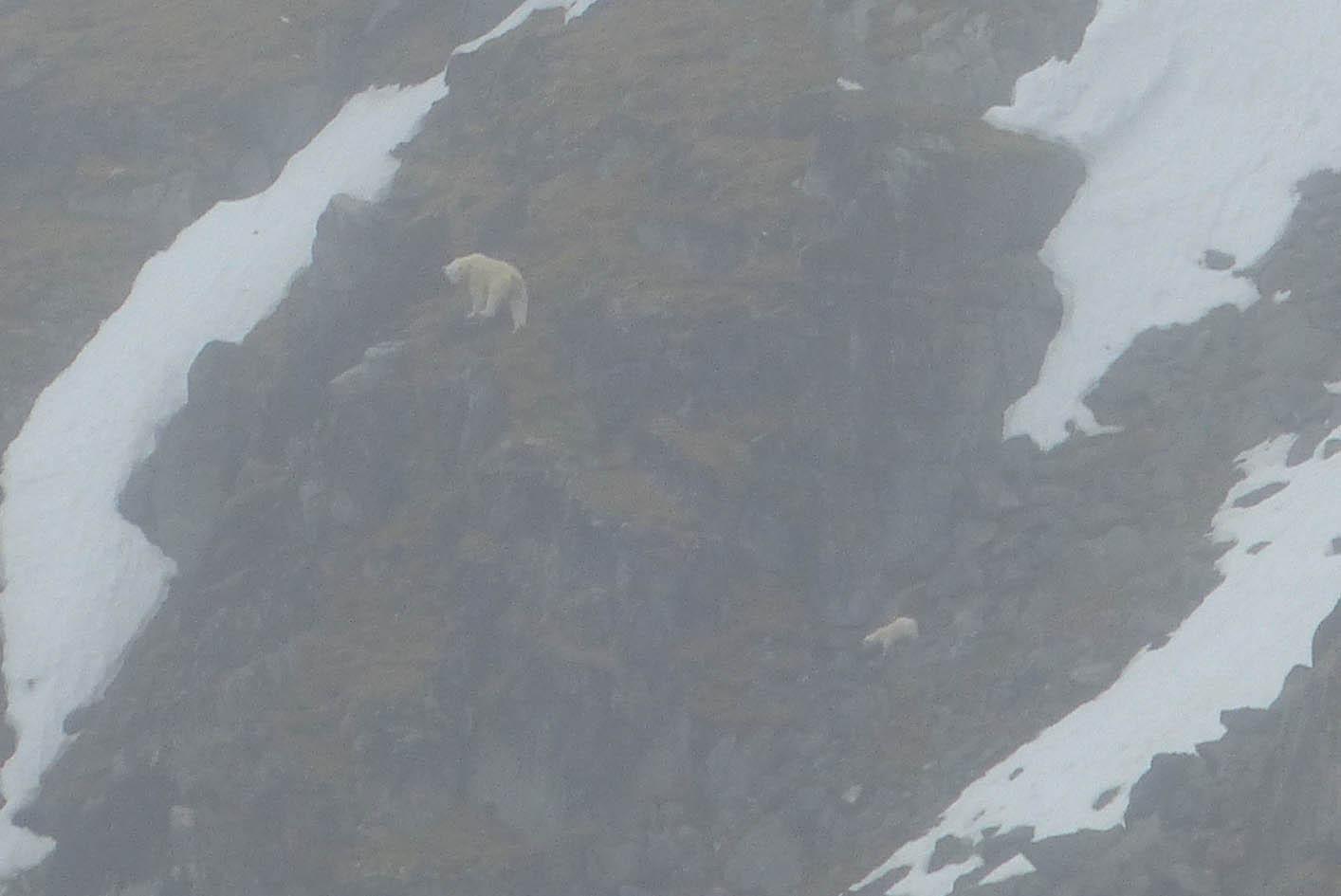isbjørn højde på bagben